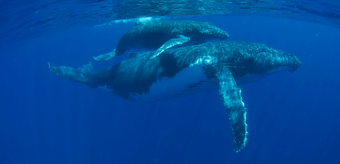 https://tahititourisme.fr/wp-content/uploads/2018/03/mooreaactivitiescenterwhaleswatching_1140x550-min.png