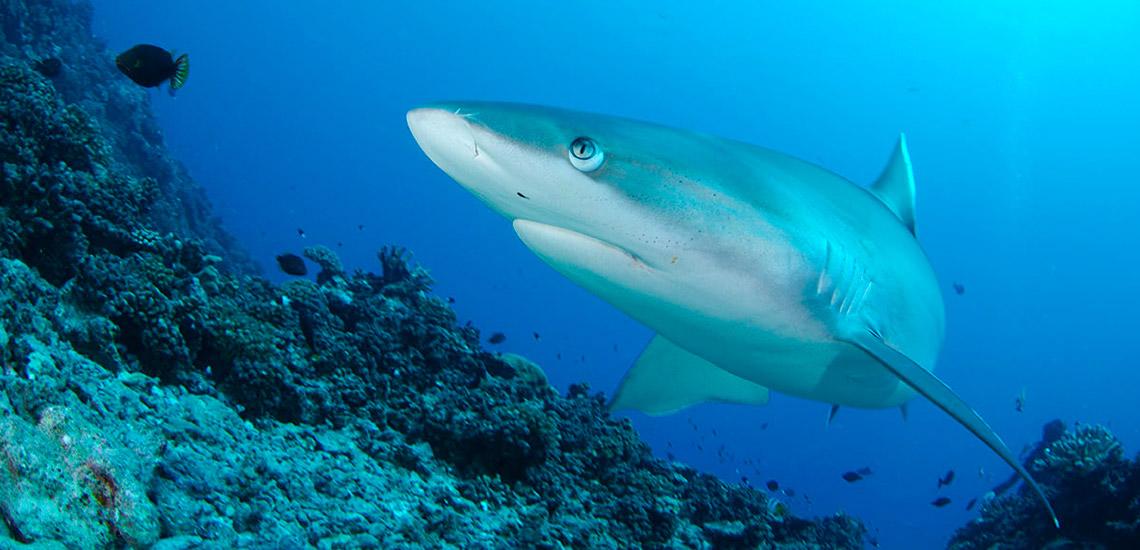 https://tahititourisme.fr/wp-content/uploads/2018/04/01-polynesie-archipels-tuamotu-soeciete-plongee-Tikehau-Plongee-requin.jpg