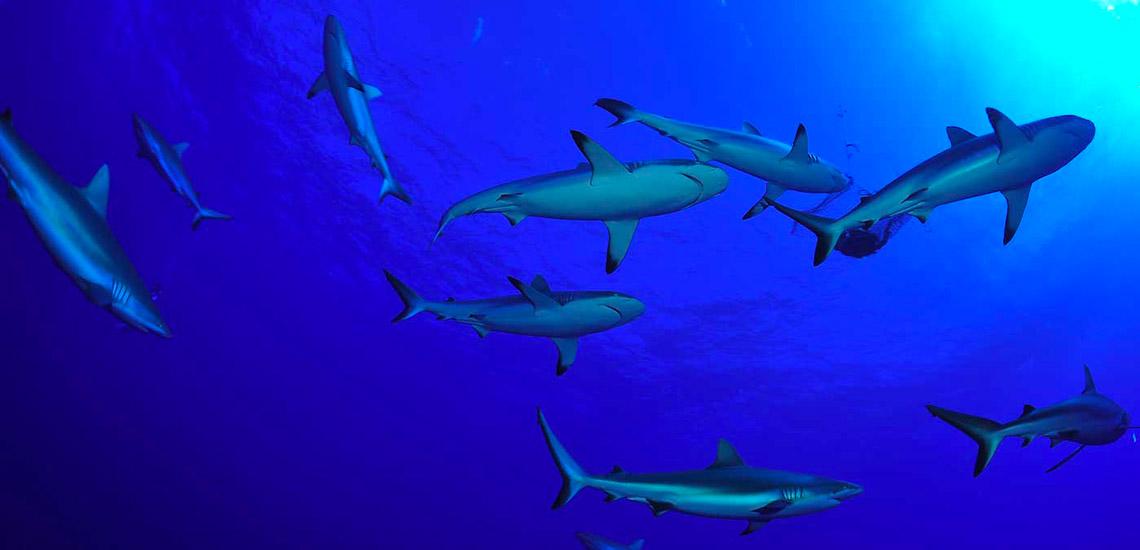 https://tahititourisme.fr/wp-content/uploads/2018/04/polynesie-francaise-plongee-sous-marine-requins-gris-GDR.jpg