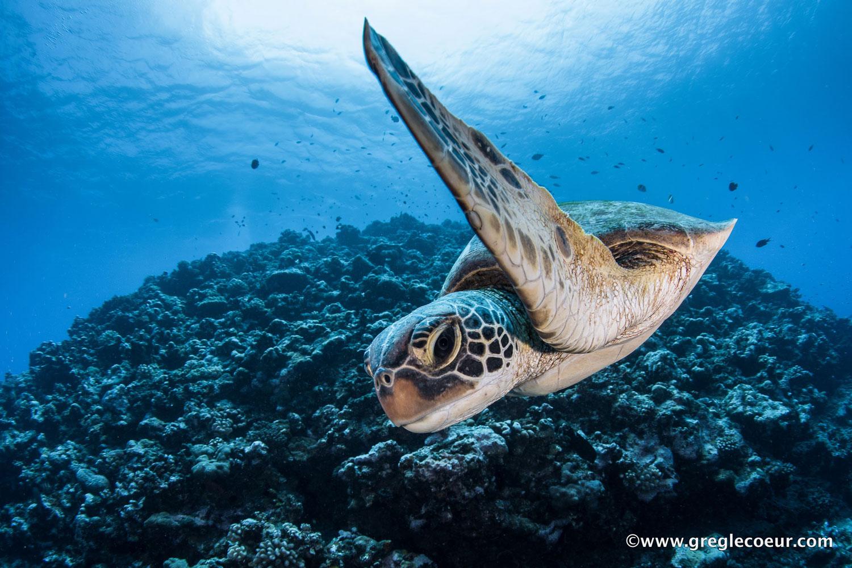 https://tahititourisme.fr/wp-content/uploads/2019/03/tortue-plongee-a-moorea-avec-topdivegreglecoeur.jpg