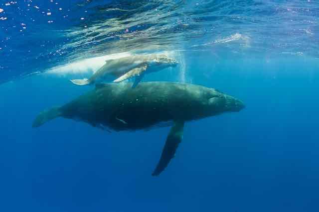 https://tahititourisme.fr/wp-content/uploads/2019/04/Bora-Bora-Humpback-Whales.jpeg