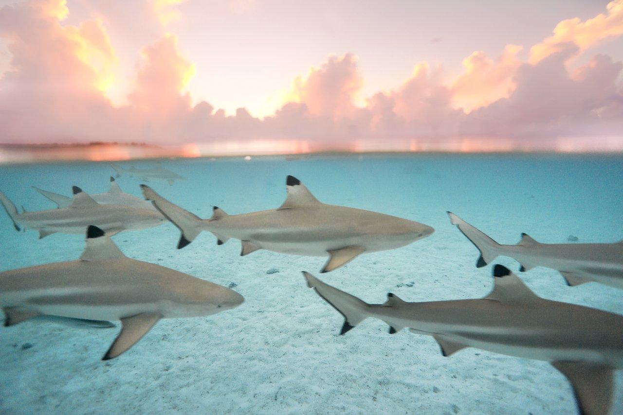 https://tahititourisme.fr/wp-content/uploads/2020/06/blacktip-reef-shark-sunset.jpg