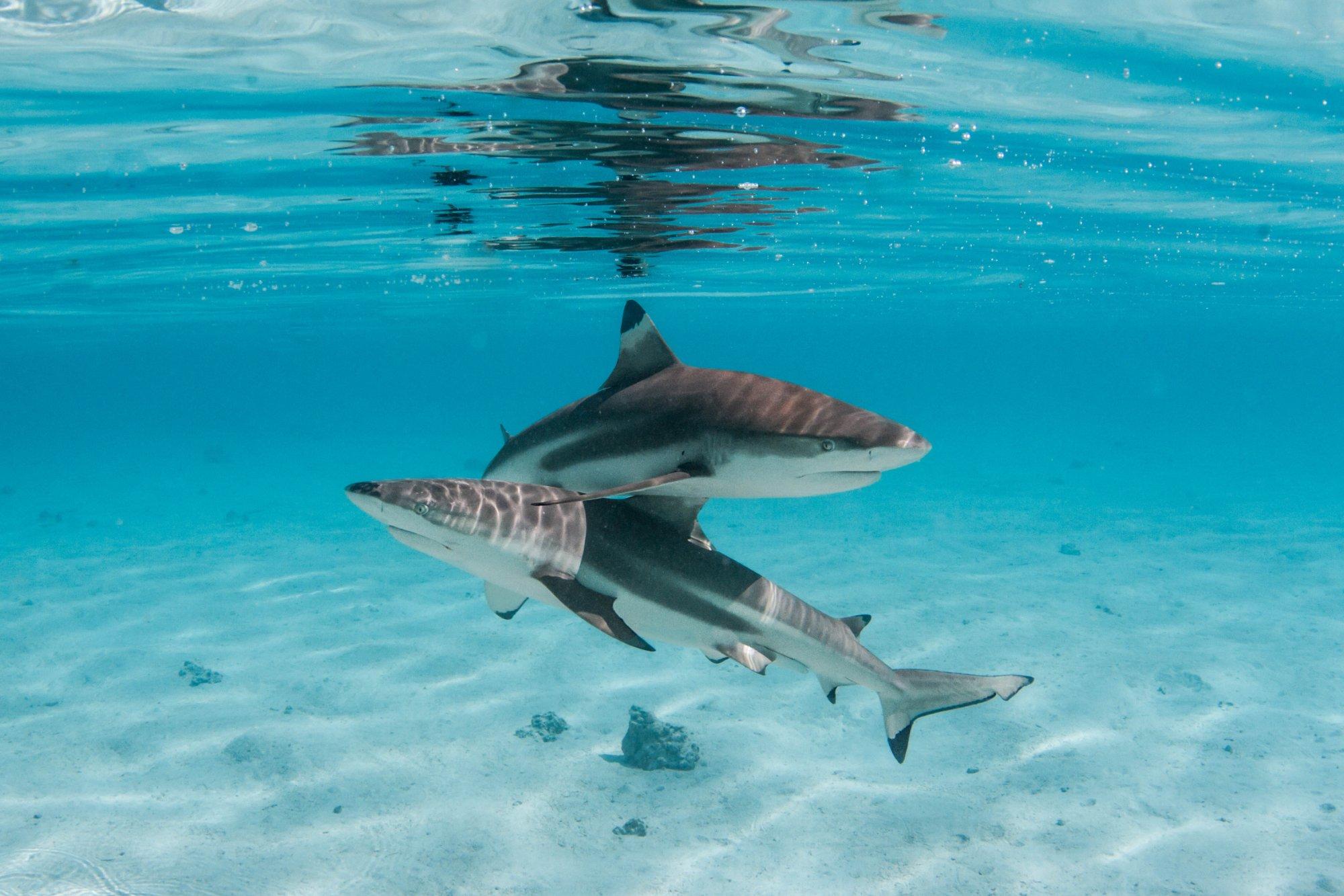 https://tahititourisme.fr/wp-content/uploads/2020/06/deux-magnifiques-requins.jpg