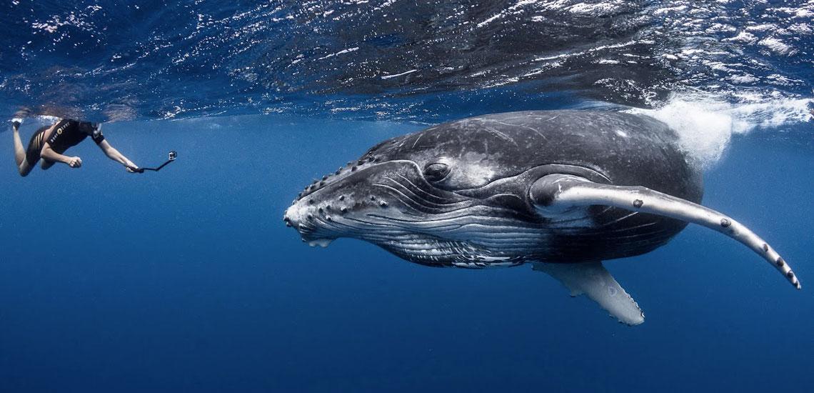 https://tahititourisme.fr/wp-content/uploads/2020/10/polynesie_plongee_top_dive_baleine_a_bosse_dsc_3098_greglecoeur.jpg