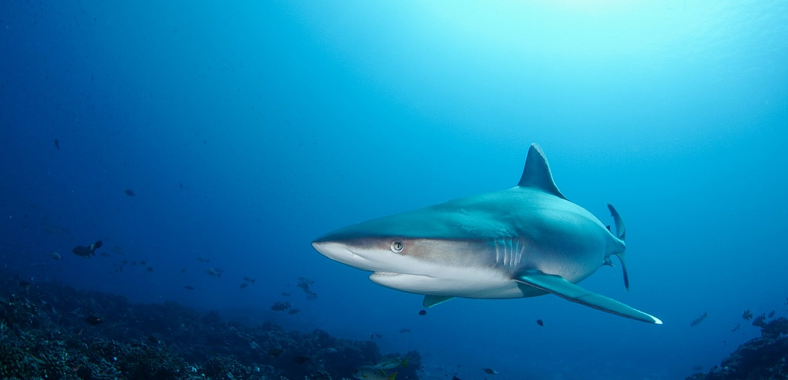 https://tahititourisme.fr/wp-content/uploads/2021/07/Spots-dEvasion-Polynesie-Tuamotu-requin-tikehau-plongee.jpg